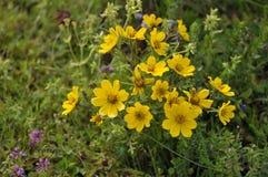 Λουλούδι Meskel στοκ εικόνες με δικαίωμα ελεύθερης χρήσης