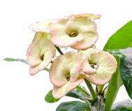 Λουλούδι milii ευφορβίας Στοκ εικόνα με δικαίωμα ελεύθερης χρήσης