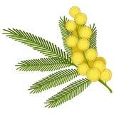 Λουλούδι Mimosa Στοκ φωτογραφία με δικαίωμα ελεύθερης χρήσης