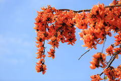 Λουλούδι monosperma Butea που ανθίζει στο υπόβαθρο δέντρων και μπλε ουρανού Στοκ Φωτογραφία
