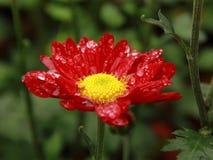 Λουλούδι Mum Στοκ φωτογραφίες με δικαίωμα ελεύθερης χρήσης