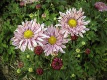 Λουλούδι Mums που ανθίζει το χειμώνα Στοκ φωτογραφία με δικαίωμα ελεύθερης χρήσης