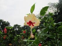 Λουλούδι - Muthu Στοκ Φωτογραφίες