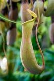 Λουλούδι Nepenthes Στοκ φωτογραφία με δικαίωμα ελεύθερης χρήσης