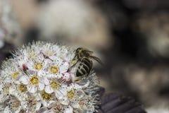 Λουλούδι Ninebark Στοκ Εικόνες