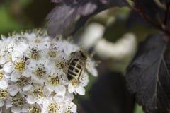 Λουλούδι Ninebark Στοκ εικόνες με δικαίωμα ελεύθερης χρήσης