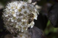 Λουλούδι Ninebark Στοκ φωτογραφία με δικαίωμα ελεύθερης χρήσης