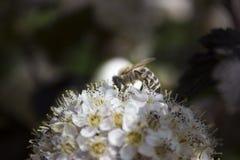 Λουλούδι Ninebark Στοκ εικόνα με δικαίωμα ελεύθερης χρήσης