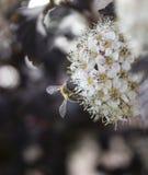 Λουλούδι Ninebark Στοκ Φωτογραφίες