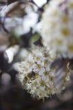 Λουλούδι Ninebark Στοκ φωτογραφίες με δικαίωμα ελεύθερης χρήσης