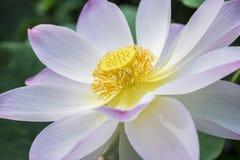 Λουλούδι Nymphaea Στοκ φωτογραφία με δικαίωμα ελεύθερης χρήσης