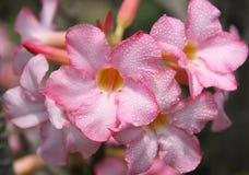 Λουλούδι obesum Adenium Στοκ Φωτογραφίες