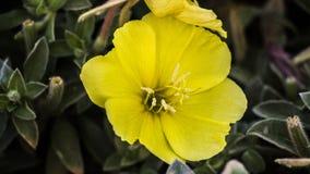 Λουλούδι Oenothera Στοκ εικόνα με δικαίωμα ελεύθερης χρήσης