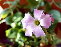 Λουλούδι Oxalis Στοκ Εικόνες