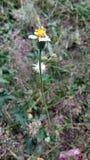 Λουλούδι Panafad Στοκ Εικόνα
