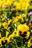 Λουλούδι pancy χρώματος Στοκ φωτογραφίες με δικαίωμα ελεύθερης χρήσης