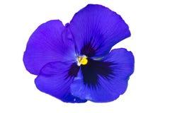 Λουλούδι Pansy Στοκ φωτογραφία με δικαίωμα ελεύθερης χρήσης