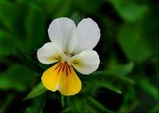Λουλούδι Pansy Στοκ Φωτογραφίες