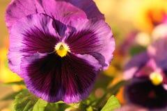 Λουλούδι Pansy στοκ εικόνες