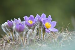 Λουλούδι Pasque βουνών στοκ φωτογραφίες