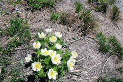 Λουλούδι Pasque βουνών στοκ φωτογραφία με δικαίωμα ελεύθερης χρήσης