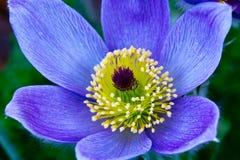 Λουλούδι Pasque Στοκ Εικόνες