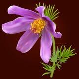 Λουλούδι Pasque διανυσματική απεικόνιση