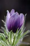 Λουλούδι Pasque Στοκ εικόνες με δικαίωμα ελεύθερης χρήσης