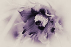 Λουλούδι Pasque - Pulsatilla vulgaris - πορφυρή απόχρωση Στοκ εικόνα με δικαίωμα ελεύθερης χρήσης