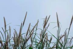 Λουλούδι Pennisetum Στοκ φωτογραφίες με δικαίωμα ελεύθερης χρήσης