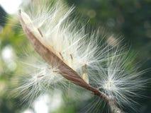 Λουλούδι Pental Στοκ Φωτογραφίες