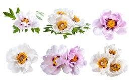 Λουλούδι Peonies που απομονώνεται Στοκ φωτογραφίες με δικαίωμα ελεύθερης χρήσης