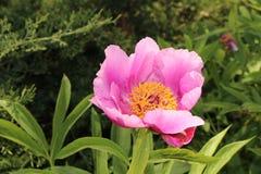 Λουλούδι Peony κήπων - Paeonia Officinalis Στοκ εικόνα με δικαίωμα ελεύθερης χρήσης