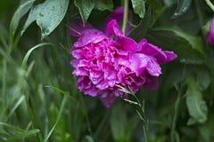 Λουλούδι Peony μετά από τη βροχή με τις πτώσεις Στοκ φωτογραφία με δικαίωμα ελεύθερης χρήσης