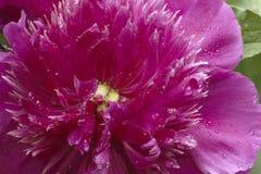 Λουλούδι Peony Στοκ Εικόνα