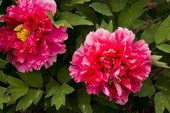Λουλούδι Peony Στοκ Φωτογραφίες