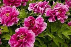 Λουλούδι Peony Στοκ φωτογραφία με δικαίωμα ελεύθερης χρήσης