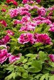 Λουλούδι Peony Στοκ Εικόνες