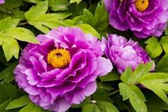 Λουλούδι Peony Στοκ εικόνα με δικαίωμα ελεύθερης χρήσης
