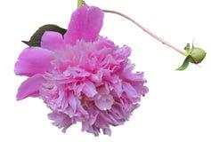 Λουλούδι peony 18 Στοκ Φωτογραφία
