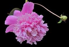 Λουλούδι peony 17 Στοκ Φωτογραφία