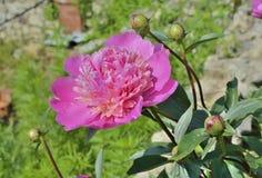 Λουλούδι peony 10 Στοκ Φωτογραφίες