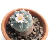 Λουλούδι Peyote Στοκ φωτογραφίες με δικαίωμα ελεύθερης χρήσης