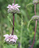 Λουλούδι Phlomis Στοκ εικόνες με δικαίωμα ελεύθερης χρήσης