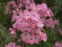 Λουλούδι Phlox Στοκ εικόνα με δικαίωμα ελεύθερης χρήσης