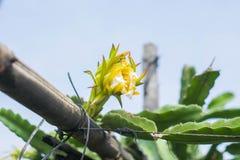 Λουλούδι Pitaya Στοκ φωτογραφία με δικαίωμα ελεύθερης χρήσης
