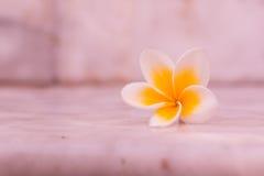Λουλούδι Plumaria Στοκ φωτογραφία με δικαίωμα ελεύθερης χρήσης