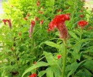 Λουλούδι Plumed cockscomb Στοκ εικόνα με δικαίωμα ελεύθερης χρήσης