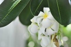 Λουλούδι Plumeria ή δέντρο ναών Στοκ φωτογραφίες με δικαίωμα ελεύθερης χρήσης
