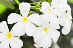 Λουλούδι Plumeria ή δέντρο παγοδών Στοκ Εικόνα
